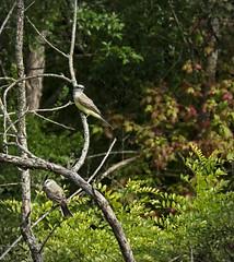 020 (chad1380) Tags: audubon birds flycatcher kingbird nature trac westernkingbird weki