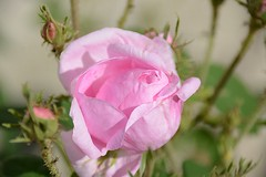 Rose (_rney_) Tags: rose nature outdoor blume flower