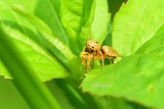 蠅虎, 跳蛛, Jumping Spider, (Jeffreycfy) Tags: animals nature wildlife spider macro closeup 微距 近攝 蜘蛛 蠅虎 跳蛛 jumpingspider nikon d4s micronikkor105mmf28g