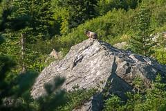 DSCF2571 (LEo Spizzirri) Tags: okanoganwenatcheenationalforest cascademountains forest hike hiking marmot meadow mountains northwest pacific pacificnorthwest pnw spidermeadow valley washington
