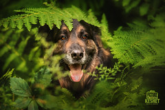 Picture of the Day (Keshet Kennels & Rescue) Tags: adoption dog dogs canine ottawa ontario canada keshet large breed animal animals kennel rescue pet pets field nature summer photography german shepherd gsd flat coated retriever mix fern jungle lush green forest hide peek boo peekaboo cute smile