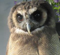 Bulan (billnbenj) Tags: barrow cumbria owl asianbrownwoodowl raptor birdofprey