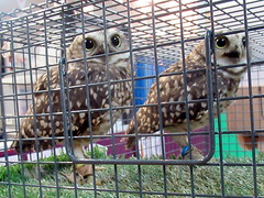 Stan and Olivia (billnbenj) Tags: barrow cumbria owl burrowingowl raptor birdofprey