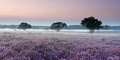 Heather Field just before Sunrise (Johan Konz) Tags: purple heather field zuiderheide hetgooi netherlands outdoor landscape tree sky bluehour justbeforesunrise nikon d7500 fog mist groundmist elitegalleryaoi bestcapturesaoi aoi tgooinaturereserve