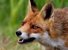 Foxation (Ger Bosma) Tags: 2mg48547filtered vos rodevos vulpesvulpes fox redfox rotfuchs fuchs renardroux renard zorro zorrocomún zorrorojo volperossa volpe head fierce eyes