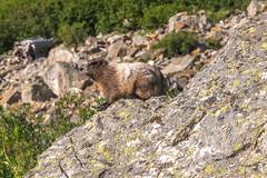 DSCF2589 (LEo Spizzirri) Tags: okanoganwenatcheenationalforest cascademountains forest hike hiking marmot meadow mountains northwest pacific pacificnorthwest pnw spidermeadow valley washington