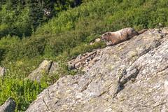 DSCF2585 (LEo Spizzirri) Tags: okanoganwenatcheenationalforest cascademountains forest hike hiking marmot meadow mountains northwest pacific pacificnorthwest pnw spidermeadow valley washington