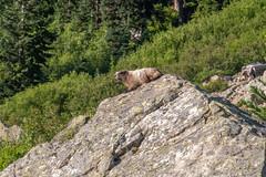 DSCF2580 (LEo Spizzirri) Tags: okanoganwenatcheenationalforest cascademountains forest hike hiking marmot meadow mountains northwest pacific pacificnorthwest pnw spidermeadow valley washington