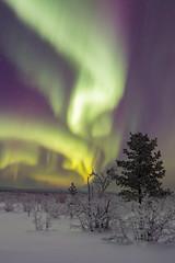 Aurora Borealis (bholmbom81) Tags: auroraborealis bush kiruna lappland night norrbotten sky snow stars sweden trees winter