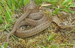 Smooth Snake (Coronella austriaca) (Nick Dobbs) Tags: reptile snake coronella austriaca smooth dorset heath heathland animal macro