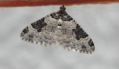 Garden Carpet Moth(Xanthorhoe fluctata) (jdathebowler Thanks for 4 Million + views.) Tags: gardencarpetmoth nationalmothweek moth xanthorhoefluctuata lepidoptera geometridae alittlebeauty coth coth5