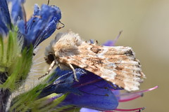 Moth (PLawston) Tags: uk britain england east sussex rye harbour national nature reserve coast path moth macro vipers bugloss flower