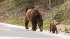 On the road ... just passing by (Alex Verweij) Tags: bear bears passingby alexverweij beer beren cups wild jasper canada black blackbears nature natuur walking wandelen paseren