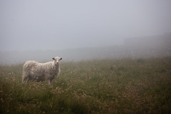 What are you looking at? (GlobalGoebel) Tags: 70200 canon5dmarkii faroeislands travelphotography faeroerne foroyar travel 70200mm canonef70200mmf28lisusm canoneos5dmarkii sheep fog foggy pasture vagar gasadalur