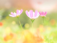 Dream girls (Tomo M) Tags: 3 cosmos flower bokeh pastel summer 浜離宮 dreamy soft plant macro orange pink green