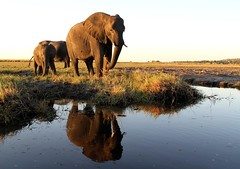 Elephant family coming down to the river for an evening drink (Paul Cottis) Tags: chobe river botswana kasane africa evening paulcottis 25 june 2019 reflection water mammal african elephant