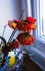 Dead flowers in colour #3 (Mano Green) Tags: dead flowers plant stem petals window light flora still kendal cumbria england uk october 2016 canon eos 300 40mm lens kodak gold 200 35mm film epson perfection v550 colour