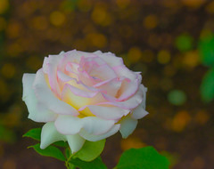 All it takes, is just One. (Omygodtom) Tags: soft rose flickr flower macro path natural nature multicolored lowkey shade oregon alneno