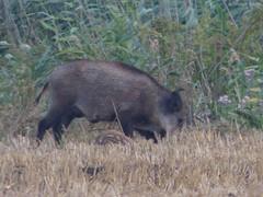 Wildschwein (Sus scrofa) (1) (naturgucker.de) Tags: ngidn883526519 susscrofa wildschwein