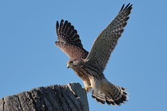 Exercise (Hammerchewer) Tags: kestrel bird raptor falcon chick wildlife outdoor