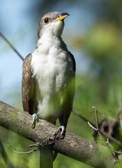 Yellow-billed Cuckoo (Songbill) Tags: yellowbilledcuckoo towergrovepark stlouis missouri birds coccyzusamericanus