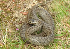 Smooth Snake (Coronella austriaca) (Nick Dobbs) Tags: reptile snake coronella austriaca smooth dorset heath heathland animal macro gravid