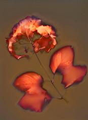 Hydrangea (Monobod 1) Tags: sunprint photogram sterlingpremium vcfibre