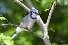 Blue Jay (jt893x) Tags: 150600mm bird bluejay cyanocittacristata d500 jay jt893x nikon nikond500 sigma sigma150600mmf563dgoshsms songbird