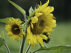 Zonnebloem /  Sunflower (Wilmeij) Tags: sunflower zonnebloem nature natuur netherlands closeup macro yellow geel