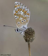 Aricia cramera (Fernando Delgado) Tags: borboleta lepidoptera lepidóptero lepidópteros arthropoda artrópodes insecto insect inseto 2019 agosto butterfly ariciacramera