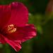 Hibiscus opening
