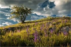 Blaublü(h)tig (linke64) Tags: thüringen deutschland germany gras natur landschaft himmel hügel wolken wolkenhimmel wiese blüten blumen blau busch