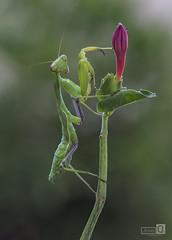 Ameles verde (JoseQ.) Tags: macro macrofotografia bicho insecto animal ameles verde colores planta flor