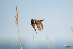 Reed bunting in flight (Picturavis) Tags: imflug vogel bird germany picturavis animal tier rohrammer männchen deutschland male inflight usedom grüssow emberizaschoeniclus commonreedbunting