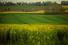 IMG_0704 An image of fragrant earth Irena , Jan Benia Radzukiewicz (MariuszWicik) Tags: yellow green field wealth image picture view polish poland polska