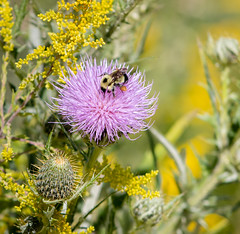 Bee on Field Thistle (mahar15) Tags: wildflower summer thistles nativewildflower bee nature flower outdoors beeonflower minnesotanativewildflower plant insect