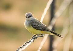 (speech path girl) Tags: tyrannusverticalis westernkingbird flycatcher kingbird bird stinkeye