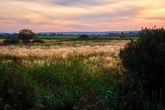 Golden grass (Piotr Tylski) Tags: fujifilm xe1 fuji poland polska landscape vacations nature art europe travel luminar skylum fujixcamera fujixseries fujix mirrorless beka rezerwat summer sunset