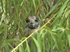 Yellow-crowned NIght Heron Staring Back (Dodge Rock) Tags: 1580 yellowcrownednightheron