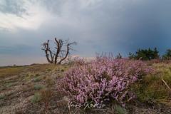 MMK_0560-Edit_ (Marc Koetse) Tags: heeze nature natuur strabrechtseheide blooming heath heather heidebloei landscapephotography landscapes landschappen landschapsfotografie leende naturephotography natuurfotografie paars paarseheide strabrecht sunset zonsondergang