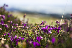 Heather (SSnapDragon) Tags: uk flowers england sky plants mountains green leaves canon purple heather hills moors dartmoor shotoncanon canon80d