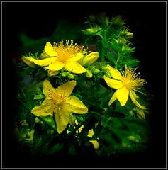Natural Wonder (dimaruss34) Tags: newyork brooklyn dmitriyfomenko image flower celandine stjohnswort hypericum sps