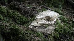 Skull in the Woods (Markus Semmler) Tags: wild shoat wildschwiein skull woods boar frischling sau outdoor wildsau schädel nature sow