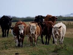 P1015147 Cattle (Photos-Tony Wright) Tags: farlington marshes hampshire august 2019 cattle bullocks farm animal animals