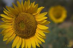 Girasoles...239/365 (cienfuegos84) Tags: girasoles naturaleza nature yellow amarillo