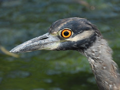 Portrait of Yellow-crowned Night Heron (Dodge Rock) Tags: 1603 yellowcrownednightheron