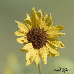 Wild Sun Flower (dcstep) Tags: colorado cherrycreekstatepark dxophotolab allrightsreserved copyright2019davidcstephens bird dsc1894dxo sonya7riii fe100400mmf4556gmoss sunflower wild