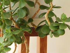 Indoor Greenery (clarkcg photography) Tags: plant indoors pot green gorgeousgreen limb leaf branch