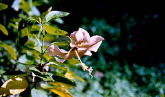 flower (bluebird87) Tags: flower leica m6 dx0 c41 epson v800 kodak portra 400 jobo lightroom