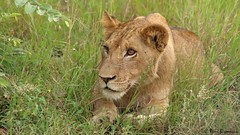 Panthera leo (Rémi Bigonneau) Tags: pantheraleo lion lioness lionne africa southafrica nature wildlife animal mammal
